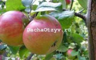 Яблоня Приземленное — описание сорта, фото, отзывы