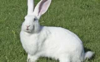 Стоит ли давать кролику вишнёвые ветки?