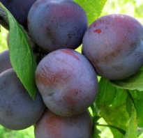 Слива Этюд — описание сорта, фото, отзывы садоводов