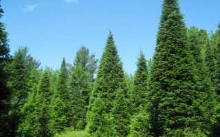 10 наиболее популярных вечнозеленых растений
