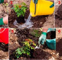 Ошибки садоводов при выращивании роз: советы по уходу