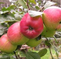Яблоня Веньяминовское — описание сорта, фото, отзывы