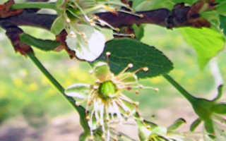 Цветение сливы — когда начинается и как проходит?