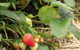 Клубника Фурор — описание сорта, фото и отзывы садоводов