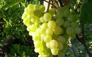 Виноград Алекса: описание сорта, фото и отзывы садоводов