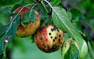 Курчавость листьев яблони и лечение