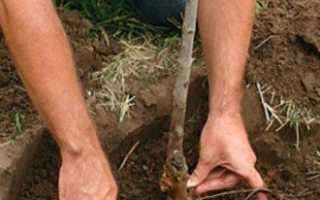 Как правильно посадить грушу — это важно знать