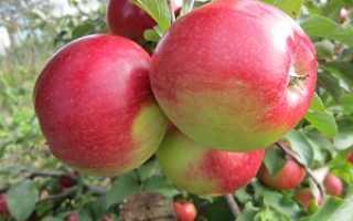 Яблоня Лигол — описание сорта, фото, отзывы