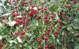 Вишня уральская рубиновая: характеристика и агротехника выращивания