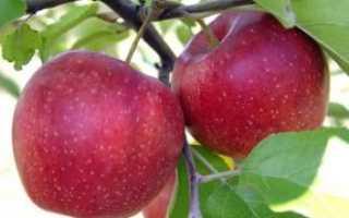 Яблоня Гала — описание сорта, фото, отзывы
