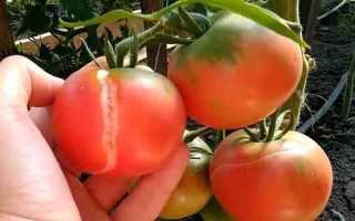 Почему трескаются помидоры на даче?