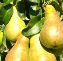 Груша Чудесница — описание сорта, фото, отзывы садоводов