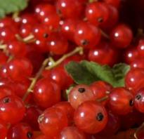 Как правильно посадить красную смородину весной?