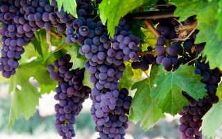 Как ухаживать за виноградом осенью, чтобы был хороший урожай?