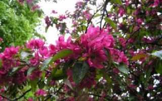 Яблоня Недзвецкого — описание сорта, фото, отзывы