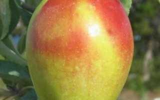 Яблоня Синап Кандиль — описание сорта, фото, отзывы
