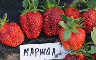 Клубника Маршал — описание сорта, фото и отзывы садоводов