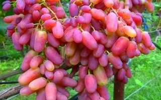 Виноград Юлиан: описание сорта, фото и отзывы садоводов