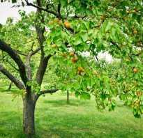 Подкормка абрикоса осенью