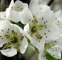Уход за грушей весной