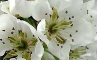 Уход за грушей весной — отвечаем на вопросы дачников