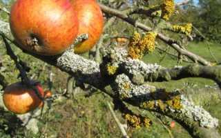 Лишайник на яблоне и лечение
