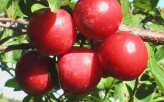 Слива Красный шар — описание сорта, фото и отзывы садовов