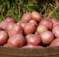 Сорт картофеля алладин