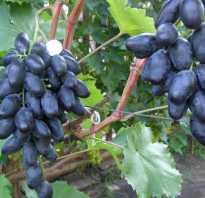 Виноград Велика: описание сорта, фото и отзывы садоводов