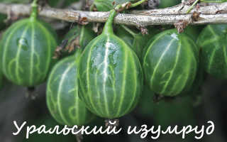 Сорта крыжовника для Урала с фото и описанием