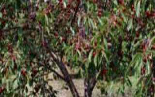 Обрезка черешни весной — полезная информация