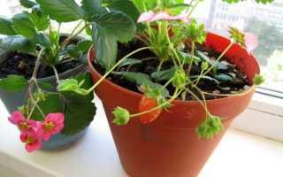 Как вырастить клубнику на балконе в домашних условиях?