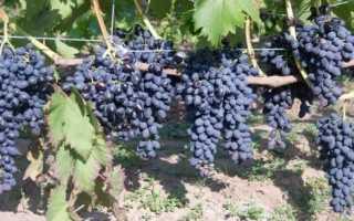 Виноград Надежда Азос: описание сорта, фото и отзывы садоводов