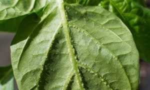 Как вылечить листья сладкого перца от оэдемы: причины появления болезни
