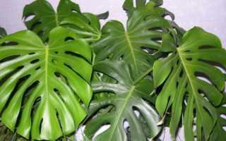 Монстера: виды тропического цветка