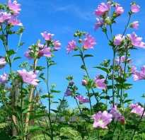 Применение шток-розы (мальвы) в народной медицине: полезные свойства и противопоказания