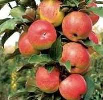Колоновидная яблоня Васюган — описание сорта, фото, отзывы
