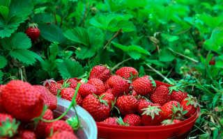 Как увеличить урожай клубники?