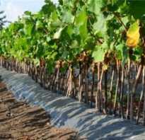 Когда сажать виноград?