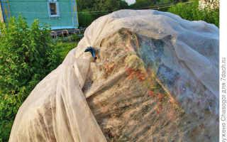 Как защитить облепиху от птиц?