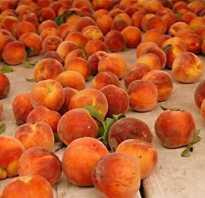 Когда персики созревают?
