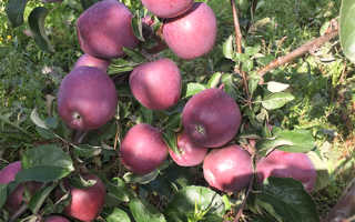 Яблоня Имант — описание сорта, фото, отзывы