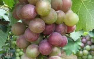 Виноград Амирхан: описание сорта, фото и отзывы садоводов