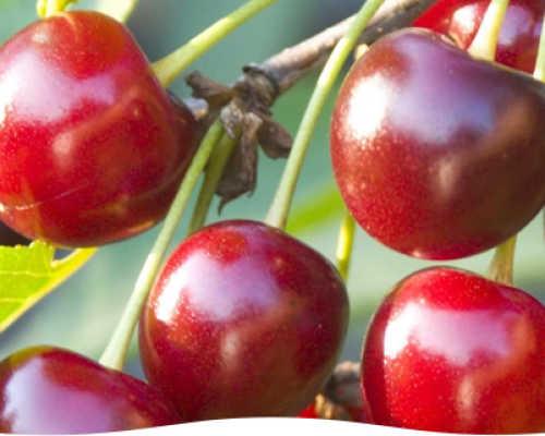 Болезни вишни — описание с фотографиями и способы лечения — это важно знать