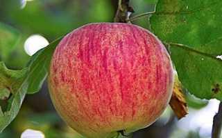 Яблоня Осеннее полосатое — описание сорта, фото, отзывы