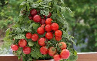 Томат Бонсай — описание сорта, отзывы, урожайность