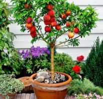 Мини персики — сорта