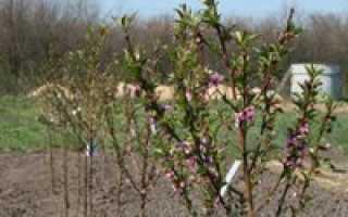 Уход за сливой весной: секреты садоводов