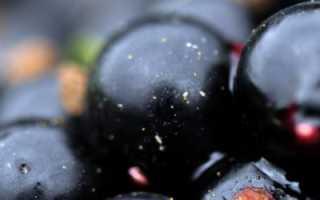 Смородина Пигмей — описание сорта, фото, отзывы