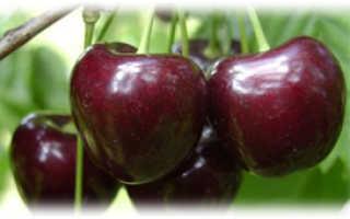 Черешня Бурлат — описание сорта, фото, отзывы садоводов